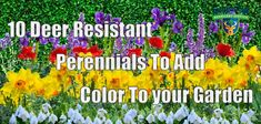 10 Deer Resistant Perennials To Add Color To your Garden - Deer Solution Repellent Service Deer Repellant, Deer Resistant Perennials, Country Cottage Garden, Butterfly Bush, Fall Plants, Flowers Perennials, Small Trees, Daffodils, Color Splash