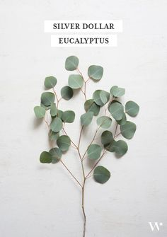 winter flower guide - silver dollar eucalyptus