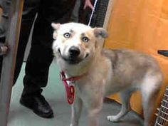 A535301 URGENT! Puppy @Devore Shelter is an adoptable Siberian Husky Dog in San Bernardino, CA. **WE NEED VOLUNTEERS TO POST & REMOVE PETS ON PETFINDER. IF YOU CAN COMMIT TO THE CAUSE OF HELPING  SAVE ...  PLEASE ADOPT IMMEDIATELY!!!!