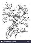 orange blossom illustration - Google Search