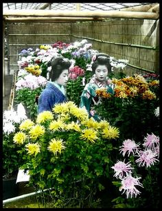 Maiko and chrysanthemums.