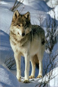poster A lone female gray wolf standing in the snow