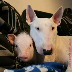The piggy and the bull terrier