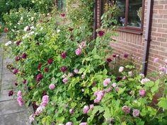 David Austin Roses, English Roses, Romantic Garden Roses