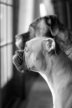 words escape me to try & describe the feelings of joy seeing your Boxer waiting like this at your window....