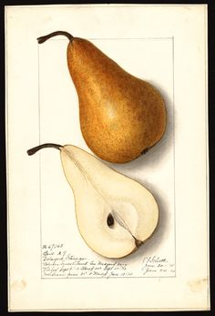 """Artist: Schutt, Ellen Isham, 1873-1955  Scientific name: Pyrus communis  Common name: pears  Variety: Bosc   """"U.S. Department of Agriculture Pomological Watercolor Collection. Rare and Special Collections, National Agricultural Library, Beltsville, MD 20705"""""""