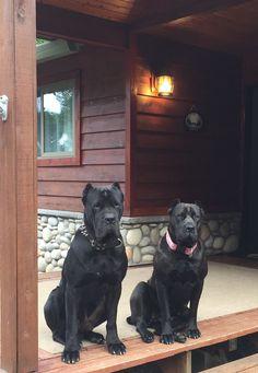 Houfek Mastiffs: Home Cane Corso Italian Mastiff, Cane Corso Mastiff, Cane Corso Dog, Cane Corso Puppies, Giant Dogs, Big Dogs, Dogs And Puppies, Mastiff Breeds, Mastiff Dogs
