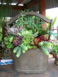 Beautiful succulent basjet