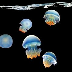 "Blue Blubber Jellyfish from ""Sea"": Mark Laita's breathtaking photos of sea creatures.I love jellyfish! Under The Water, Under The Sea, Underwater Creatures, Underwater Life, Underwater Pictures, Sea Photography, Underwater Photography, Photography Office, Travel Photography"