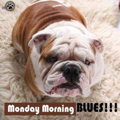 Monday morning blues!!! #brooklynmood #englishbulldog #brooklyn #bulldog #bulldoglove #bulldoglovers #pet #petstagram #petlover #lovedog #dog #doggram #dogstagram #doglove #doglover #friend #adorable  #pic #pics