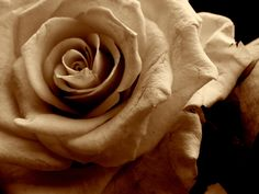 Google Image Result for http://www.deviantart.com/download/116974382/Roses_1___Sepia_by_blame_the_messenger.jpg