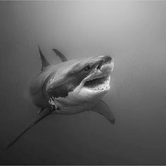 Photo by - greatwhite - whiteshark - shark - requin blanc Angry Animals, Animals And Pets, Cute Animals, Shark Art, Shark Diving, Underwater Creatures, Ocean Creatures, Jj Tattoos, Scary Ocean