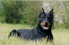 Beauceron. They are members of the herding group. They are great sheep herders and livestock guardians. They stand at 24-27 1/2 inches at the shoulder and weigh about 65-100 pounds.