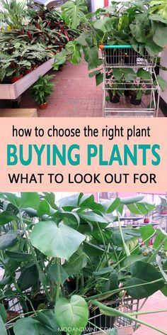 You want to get more Plants for your home? Find out where you buy the best houseplants and what you should look for when purchasing healthy indoor plants. Buy Indoor Plants, Buy Plants, Outdoor Plants, House Plant Care, House Plants, Where To Buy Houseplants, Herb Garden, Garden Tools, Indoor Gardening Supplies