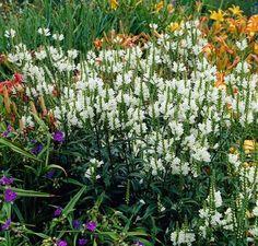 Outdoor Obedient Flower Plants