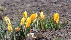 Krokusy zwiastują nadejście wiosny. Fot. radio RMF FM