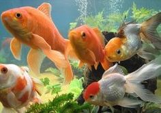 Gold Fish Tank Set Up Guide