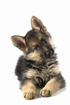 Baby German Shepard - what a face