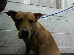 PEACHES (A1637926) I am a female tan Labrador Retriever mix.  The shelter staff think I am about 4 years old and I weigh 55 pounds.  I was found as a stray and I may be available for adoption on 08/27/2014. — hier: Miami Dade County Animal Services. https://www.facebook.com/urgentdogsofmiami/photos/pb.191859757515102.-2207520000.1409077555./827857230582015/?type=3&theater