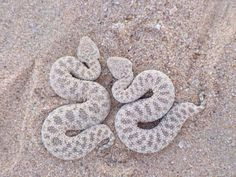 Saw Scale Snakes. Cutest snakes ever, like chibi snakes...look at those tiny tails!