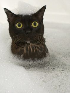 My black cat Panther likes water and has been known to jump while im showering. But submerging him in a bubble bath probably NOT! Animals And Pets, Funny Animals, Cute Animals, Animal Memes, Crazy Cat Lady, Crazy Cats, Cool Cats, Gatos Cool, Photo Chat
