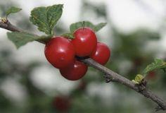 https://flic.kr/p/J7V6qX | Cherry | 부모도 반의사가 되어야 한다 www.koreapediatrics.com