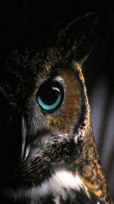 Birds of Prey - Long eared Owl