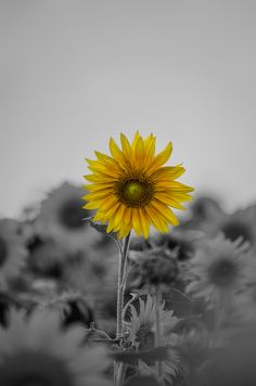 Sun flower ... Selective colour.