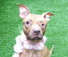 Manhattan Center PISCES – A1107228 FEMALE, BROWN / WHITE, AM PIT BULL TER MIX, 5 yrs STRAY – STRAY WAIT, NO HOLD Reason STRAY Intake condition UNSPECIFIE Intake Date 03/27/2017, From NY 10459, DueOut Date 03/30/2017