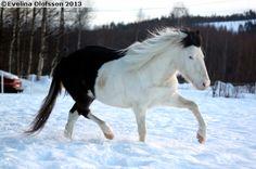 Gotland Pony - stallion Guldhagens Frej (Bloka Joker - Pros Timera - Raider) | via Sukuposti