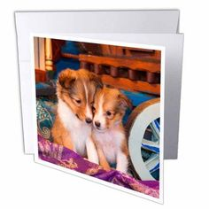 3dRose Shetland Sheepdog puppies sitting. MR,, Greeting Cards, 6 x 6 inches, set of 12