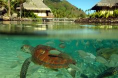 At Venture Tahiti, we focus exclusively on travel to the magnificent islands of Tahiti, Bora Bora, Moorea, and French Polynesia. Moorea Island, Moorea Tahiti, Overwater Bungalows, Adventure Of The Seas, Summer Paradise, Beautiful Places To Travel, French Polynesia, Bora Bora, Resort Spa