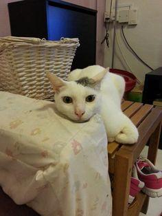 QiangQiang (鏘鏘) Cat   Pawshake Singapore