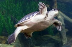 The pig-nosed turtle (Carettochelys insculpta), also known as the pitted-shelled turtle or Fly River turtle, is a species of turtle native to northern Australia and southern New Guinea. Picture:George Grall, National Aquarium