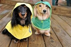 weiner dogs with raincoats :) I love the way their ears look like long hair