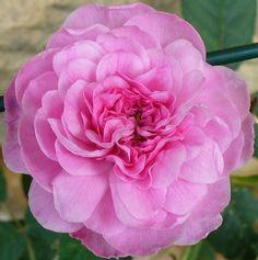 'Rose de Mai', 1830