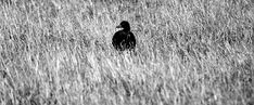 Duck Out of Water by pauludowiesner on DeviantArt Beautiful World, Pet Photos, Deviantart, Wall Art, Pets, Water, Pictures, Black, Animals And Pets