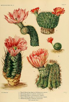 The Cactaceae : descriptions and illustrations of plants of the cactus family v.3