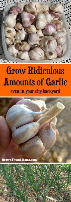 How to Plant and Grow Garlic Garlic is amazingly easy to grow. All you need is a sunny spot and these important tips. You'll never have to buy garlic from the store again! The post How to Plant and Grow Garlic appeared first on Garden Ideas. Growing Veggies, Growing Herbs, Growing Tomatoes, Garlic Growing Indoors, Easy To Grow Vegetables, Growing Garlic From Cloves, Growing Seedlings, Growing Onions, Growing Plants Indoors