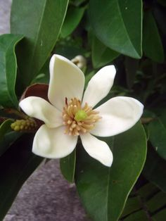 Banana shrub flower -  looks like magnolia but smells like banana. Prefers warm (zone 10) but can be grown as a container plant and grown indoors to scent the house.