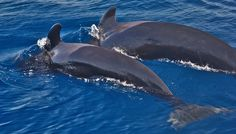 Pilot whales diving together by Lenny Hbt - La Paz, Baja California Sur, Mexico