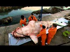 Inside Nature's Giants 5/18 Great White Shark (Channel 4)