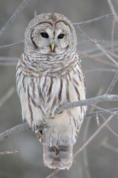 white-owl-iphone-4-wallpaper.jpg (640×960)
