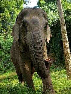 Boon Lott's Elephant Sanctuary, Thailand Asian Elephant, Elephant Love, Elephant Art, Water For Elephants, Save The Elephants, Beautiful Creatures, Animals Beautiful, Cute Animals, Elephas Maximus