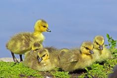 digitalmarbles posted a photo:  Newborn Canada Geese goslings on the shore at the George C. Reifel Migratory Bird Sanctuary Delta BC Canada
