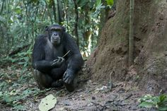 """Scientists discovered that the chimpanzees also possessed unique tool-using skills. They not only """"fished"""" for termites with long twigs, as other chimpanzees do, sticking thin sticks into termite mounds to retrieve the insects, but also used shorter twigs and branches to poke holes in the mounds first."""