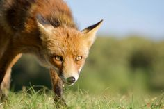 Red Fox by Andreas ➰ Freund on Fennec, Fox Face, Red Fox, Foxes, Mammals, Wildlife, Sculpture, Nature, Animals And Pets