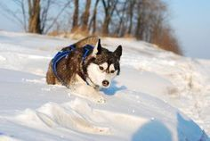 A Siberian husky can be a good companion for an active household if you can spend plenty of time every day providing the physical and mental activities this high-energy, easily bored breed needs. Exercise and proper training can help you calm your husky when he engages in hyperactive behavior.