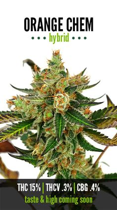 Orange Chem | Repined By 5280mosli.com | Organic Cannabis College | Top Shelf Marijuana | High Quality Shatter
