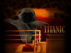 Pug Titanic